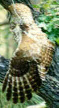Mexican spotted owl, stretching...